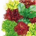 ベビーリーフ「ガーデンレタスミックス」の苗を販売【花育通販】野菜苗の販売店
