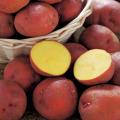 秋ジャガイモ(じゃがいも)「アンデス赤」の種芋を販売【花育通販】