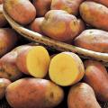 種芋(タネイモ)の販売店【花育通販】「インカのひとみの種いも」を販売