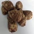 里芋「子宝」の種芋を販売【花育通販】