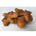 生姜(ショウガ)「金時紅しょうが」の種芋を販売【花育通販】