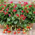 苺(イチゴ)ローズベリーの苗を販売【花育通販】