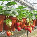 苺(イチゴ)らくなりイチゴの苗を販売【花育通販】
