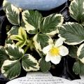 斑入り葉イチゴ マーブルストロベリー