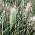 ペニセタム「ビロサム」の苗を販売【花育通販】