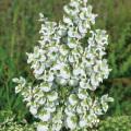 サルビア・スクラレア'バチカンホワイト'(白花クラリーセージ)