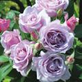 薔薇(バラ)苗木の販売店【花育通販】夜来香(イエライシャン)
