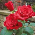 薔薇(バラ)苗木の販売店【花育通販】ミカエル