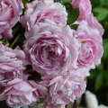 薔薇(バラ)苗木の販売店【花育通販】シャルム
