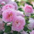 薔薇(バラ)苗木の販売店【花育通販】リアン・ローズ