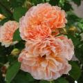 薔薇(バラ)苗木の販売店【花育通販】ラ・リューヌ