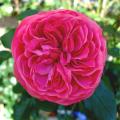 薔薇(バラ)苗木の販売店【花育通販】レオナルドダビンチ