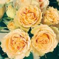 薔薇(バラ)苗木の販売店【花育通販】アンティークレース