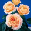 薔薇(バラ)苗木の販売店【花育通販】キャラメルアンティーク