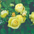 薔薇(バラ)苗木の販売店【花育通販】 クリーミーエデン