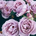 薔薇(バラ)苗木の販売店【花育通販】しのぶれど