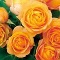 薔薇(バラ)苗木の販売店【花育通販】ベビーロマンティカ