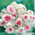 薔薇(バラ)苗木の販売店【花育通販】ミミエデン