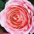 薔薇(バラ)苗木の販売店【花育通販】ロマンティックレース