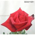 薔薇(バラ)苗木の販売店【花育通販】熱情(ねつじょう)