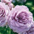 薔薇(バラ)苗木の販売店【花育通販】ノヴァーリス