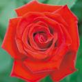 薔薇(バラ)苗木の販売店【花育通販】ベルサイユのばら