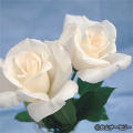 薔薇(バラ)苗木の販売店【花育通販】感謝(かんしゃ)