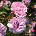 薔薇(バラ)苗木の販売店【花育通販】レイニーブルー
