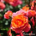 薔薇(バラ)苗木の販売店【花育通販】ディズニーランドローズ