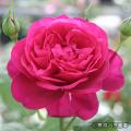 薔薇(バラ)苗木の販売店【花育通販】ゲーテローズ
