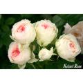 薔薇(バラ)苗木の販売店【花育通販】パシュミナ
