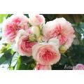 薔薇(バラ)苗木の販売店【花育通販】アミ・ロマンティカ