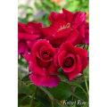 薔薇(バラ)苗木の販売店【花育通販】ラブストラック