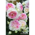 薔薇(バラ)苗木の販売店【花育通販】ホリデー・アイランド・ピオニー