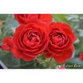 薔薇(バラ)苗木の販売店【花育通販】スカーレット・ボニカ