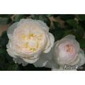 薔薇(バラ)苗木の販売店【花育通販】ボレロ