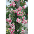 薔薇(バラ)苗木の販売店【花育通販】つる・ミミエデン