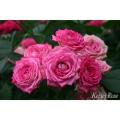 薔薇(バラ)苗木の販売店【花育通販】デュエット・バルコニア