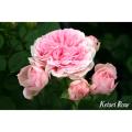 薔薇(バラ)苗木の販売店【花育通販】ラリッサ・バルコニア