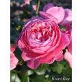 薔薇(バラ)苗木の販売店【花育通販】ケルナー・フローラ