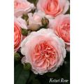 薔薇(バラ)苗木の販売店【花育通販】メルヘンツァウバー