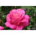 薔薇(バラ)苗木の販売店【花育通販】恋結び(こいむすび)