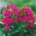 ハーブ(香草)の販売店【花育通販】 赤花クリーピングタイム