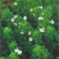 ハーブ(香草)の販売店【花育通販】 白花クリーピングタイム