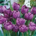 八重咲きチューリップ・ブルーダイアモンドの球根を販売【花育通販】