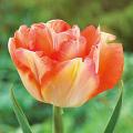 八重咲きチューリップ・チャーミングビューティーの球根を販売【花育通販】