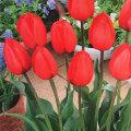 チューリップ・レッドインプレッションの球根を販売【花育通販】