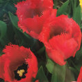 フリンジ咲きチューリップ・クリスタルビューティーの球根を販売【花育通販】