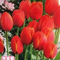 2色咲きチューリップ・ワールドフェボリット(ワールドフェボリート)の球根を販売【花育通販】