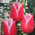 2色咲きチューリップ・メリーウィドーの球根を販売【花育通販】